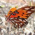 butterflies_07