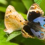 butterflies_10