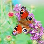 butterflies_11