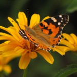 butterflies_14