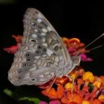 butterflies_15