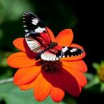 butterflies_20